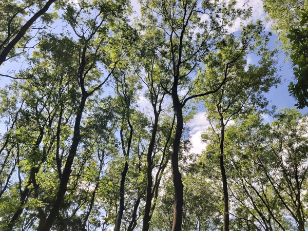 ash canopies in various stages of decline to ash dieback