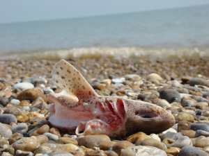 discarded dogfish on beach